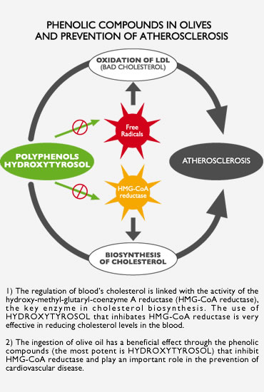 Phenolic compounds in olives and prevention of atherosclerosis